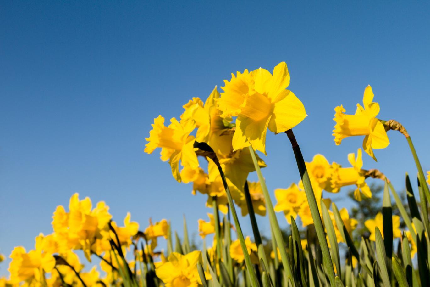springcleaningdaffodils